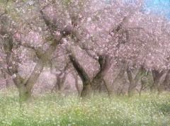 almond blossom 149