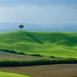 single tree and green field
