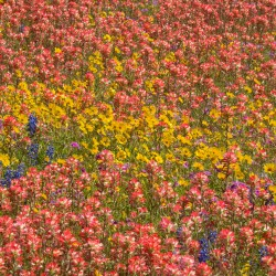 coreopsis, indian paintbrush, bluebonnets and phlox, near san antonio