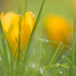 crocus in wet grass