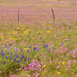 phlox, bluebonnets and fence