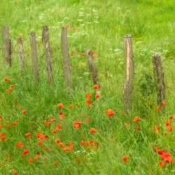 poppies and fence