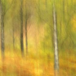 silver birches in autumn