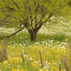 white prickly poppies and mesquite tree