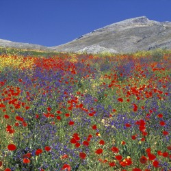 wildflower meadow and mountain
