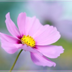 cosmos with border