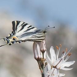 scarce swallowtail on asphodel