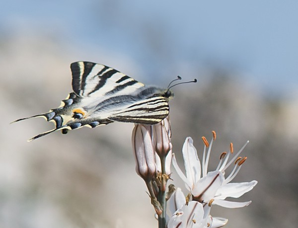 scarce swallowtail on asphodel