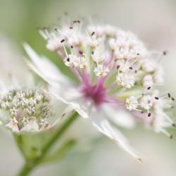 white astrantia