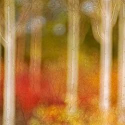 silver birch wood in autumn