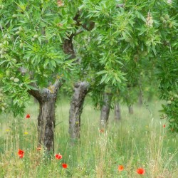 almond tree and poppies, valencia