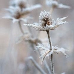 eryngium with frost 15