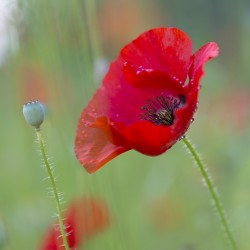 poppy with raindrops