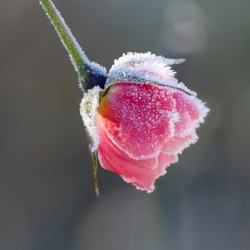 rosebud with frost
