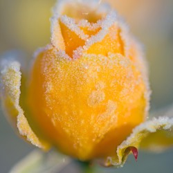 yellow rosebud with frost