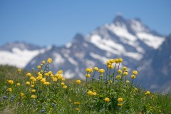 globe flowers agains snow capped mountain