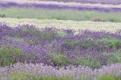 lavender, snowshill