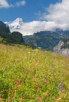 wildflowers and mountains near wengen