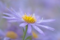 blue aster with raindrops