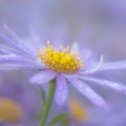 blue aster with raindrops 18