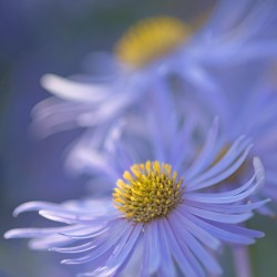 blue asters 4012