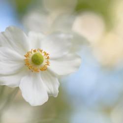 japanese anemone 3931