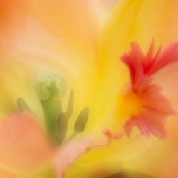 tulip Caribbean Parrot